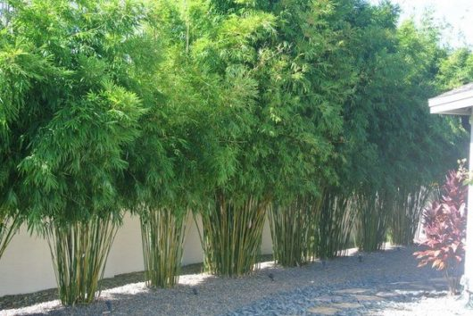 what-is-clumping-bamboo-garden-privacy-ideas-privacy-plants-ideas