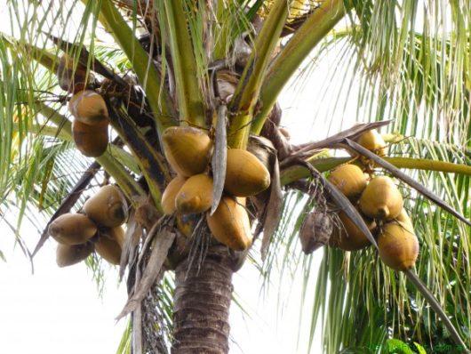 dwarf-coconut-390